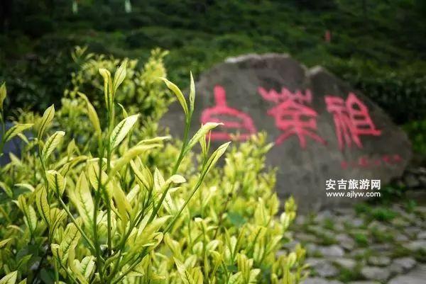 安吉白茶祖