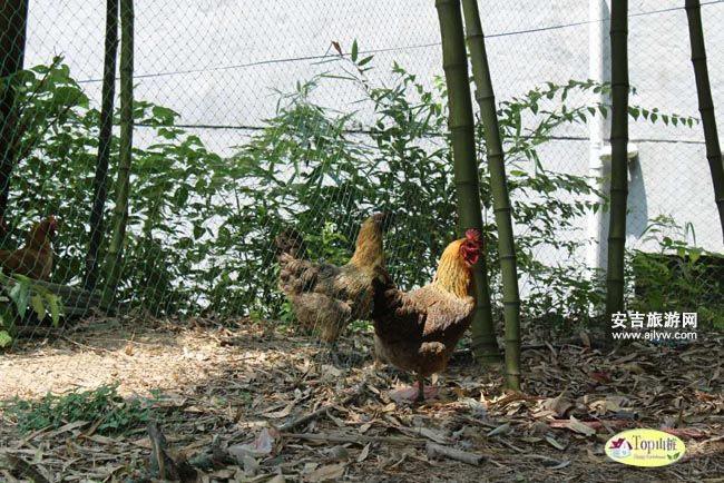 天荒坪農家雞