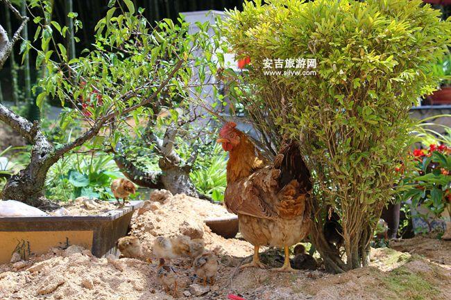 安吉竹林鸡